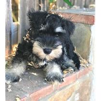Cachorros De Schnauzer Para Su Adopción