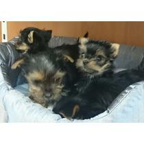 Yorkshire Terrier Cachorros En Adopción