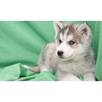 Cachorros De Alaska Malamute Para Adopción