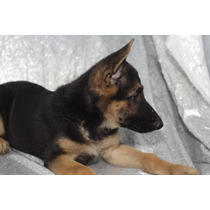 Pastor Alemán Cachorros Para Adopción