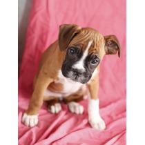 Cachorros Boxer Macho Y Hembra Para Adopción.